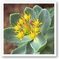 naturopathy rhodiola